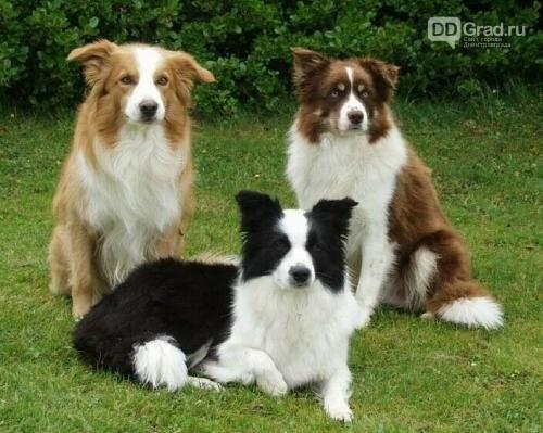 Кинологи назвали пять самых обучаемых пород собак, фото-5