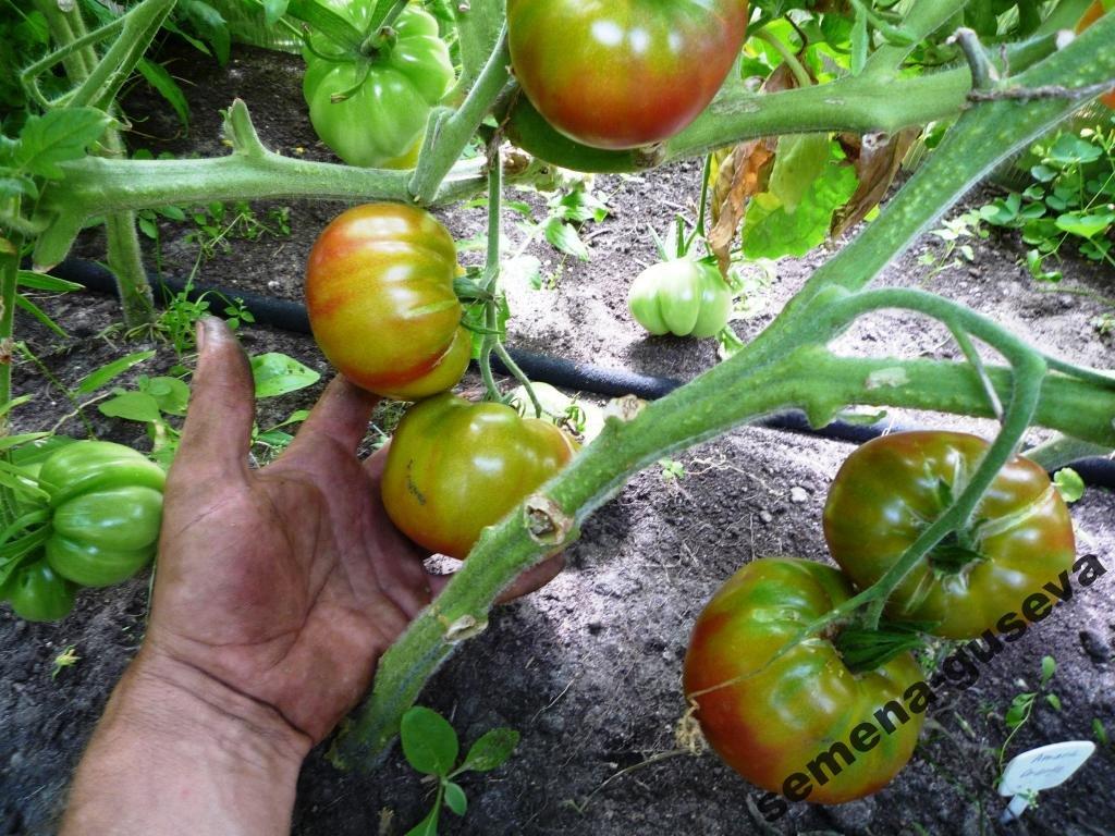 На вкус и цвет: какие сорта томатов выбрать димитровградцам, фото-6