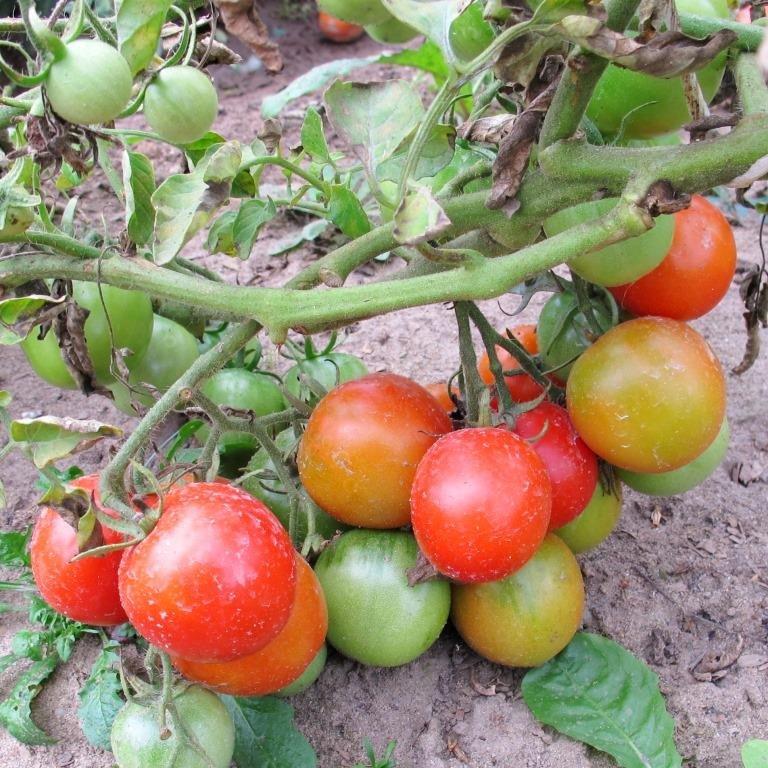 На вкус и цвет: какие сорта томатов выбрать димитровградцам, фото-4