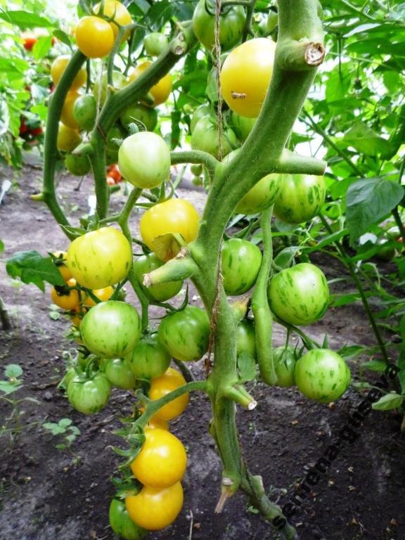 На вкус и цвет: какие сорта томатов выбрать димитровградцам, фото-2