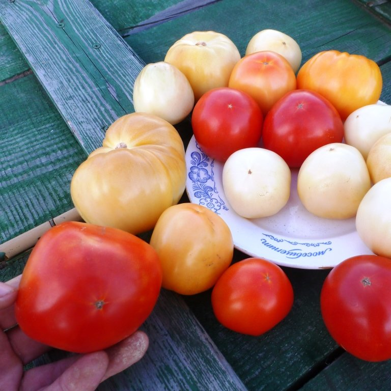 Томатная экзотика: сорта, которые могут украсить огороды димитровградцев, фото-24