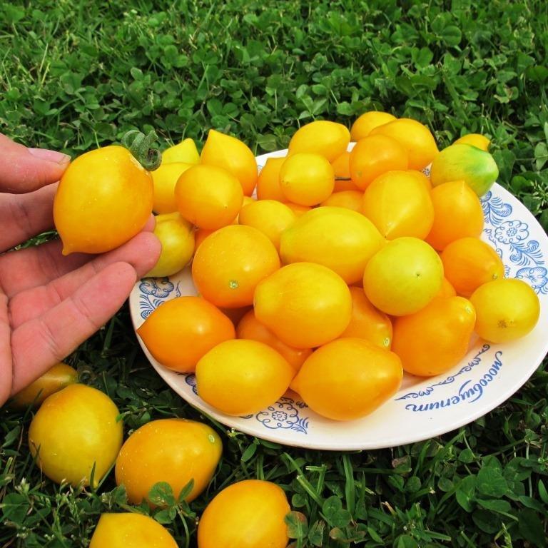Томатная экзотика: сорта, которые могут украсить огороды димитровградцев, фото-4