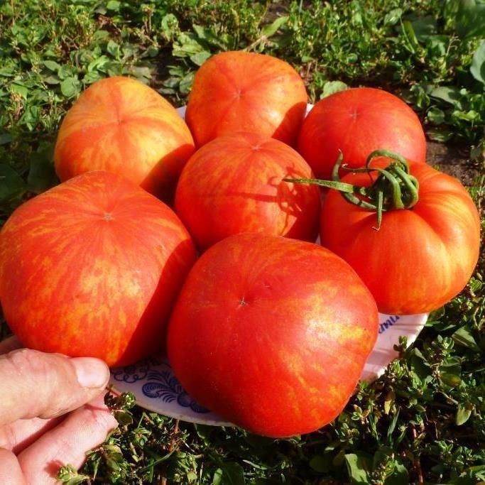 Томатная экзотика: сорта, которые могут украсить огороды димитровградцев, фото-6