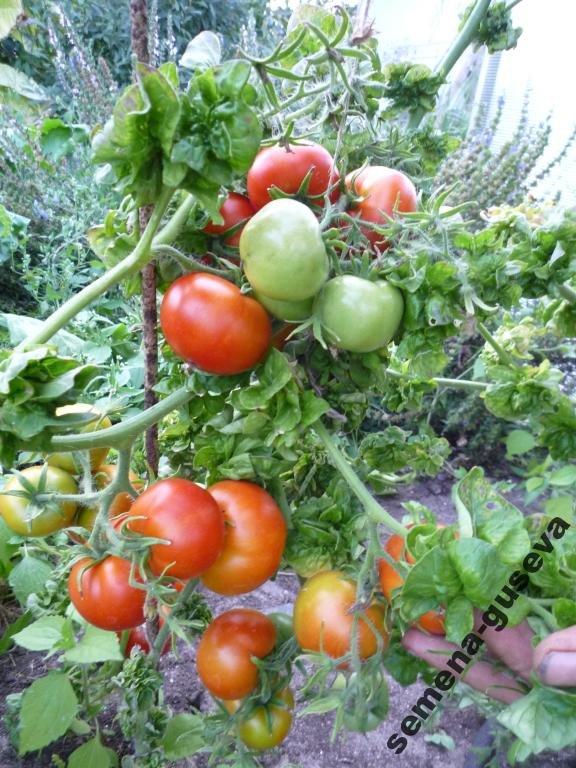 Томатная экзотика: сорта, которые могут украсить огороды димитровградцев, фото-15