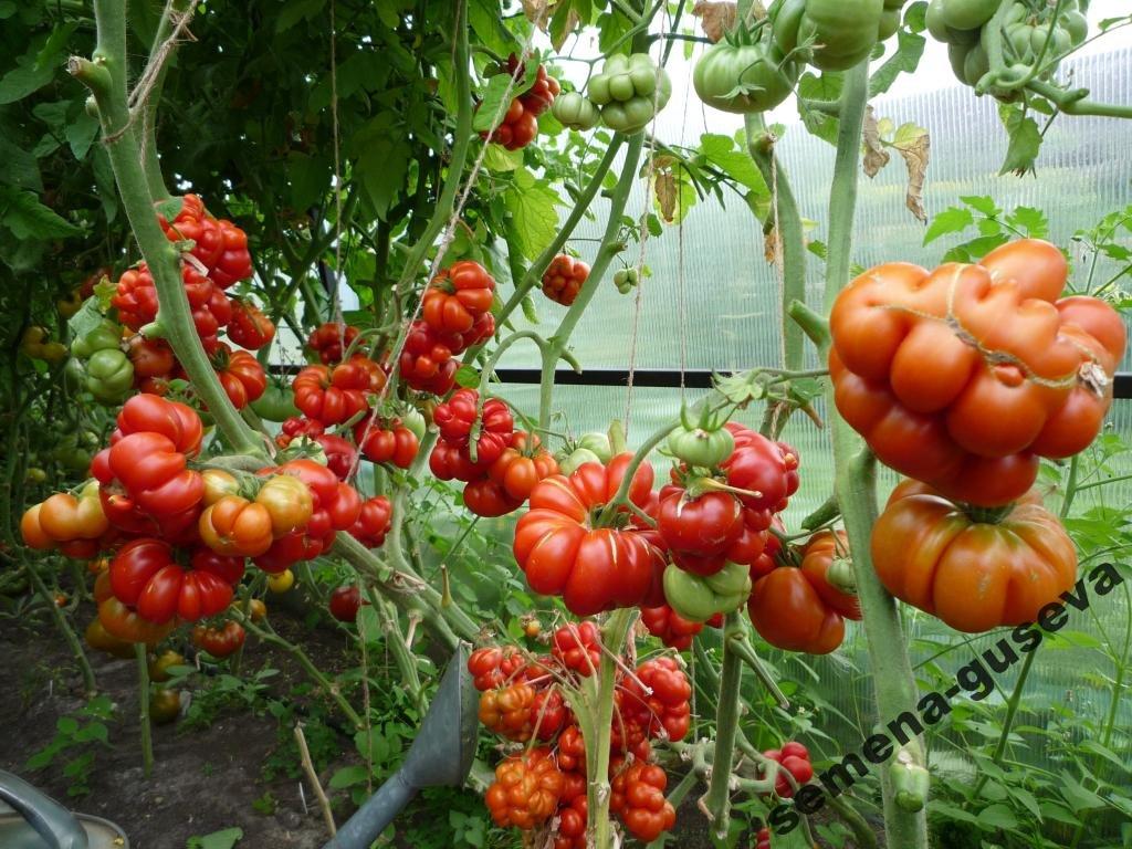 Томатная экзотика: сорта, которые могут украсить огороды димитровградцев, фото-22