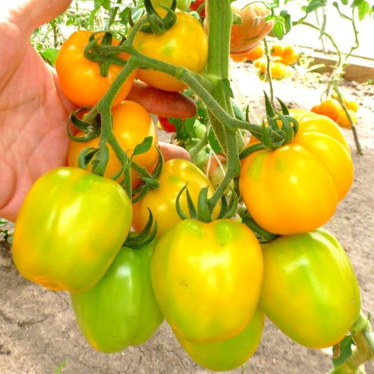 Томатная экзотика: сорта, которые могут украсить огороды димитровградцев, фото-10