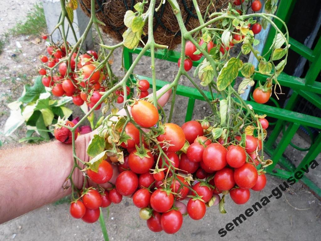 Томато-карлики: какие сорта димитровградцы могут вырастить на балконе, фото-12