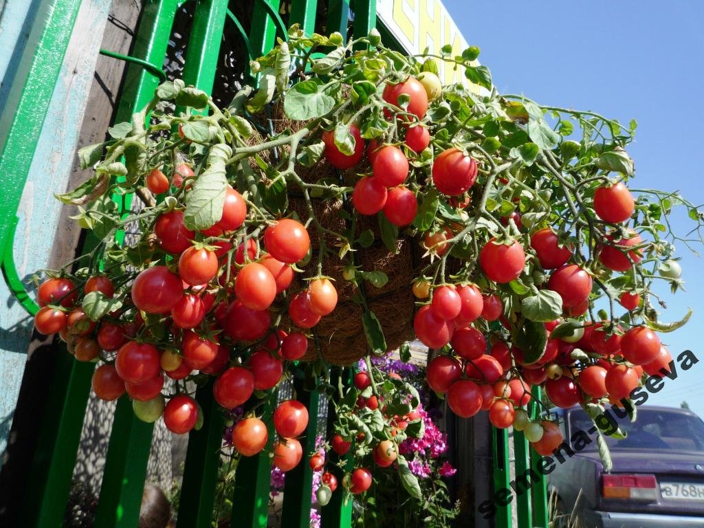 Томато-карлики: какие сорта димитровградцы могут вырастить на балконе, фото-11