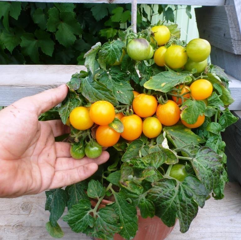 Томато-карлики: какие сорта димитровградцы могут вырастить на балконе, фото-9