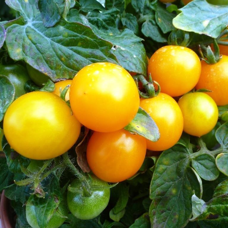 Томато-карлики: какие сорта димитровградцы могут вырастить на балконе, фото-10