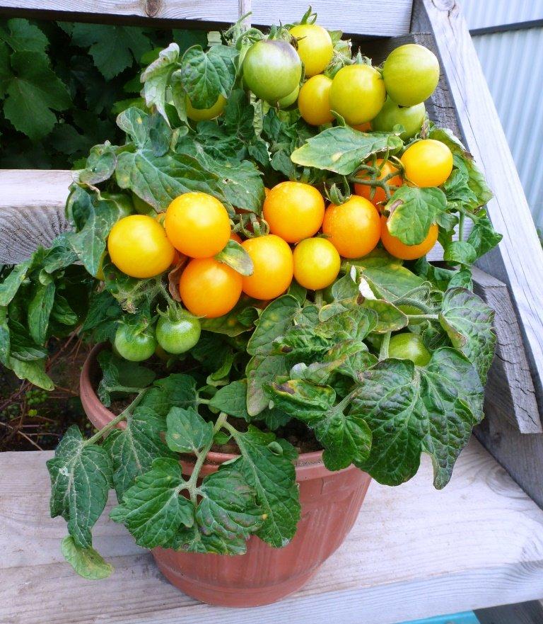 Томато-карлики: какие сорта димитровградцы могут вырастить на балконе, фото-8