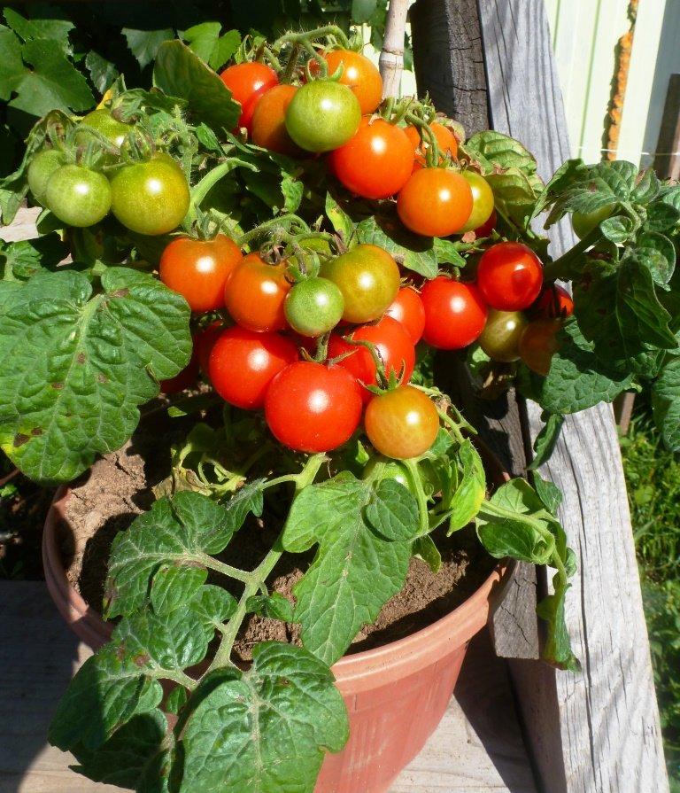 Томато-карлики: какие сорта димитровградцы могут вырастить на балконе, фото-15