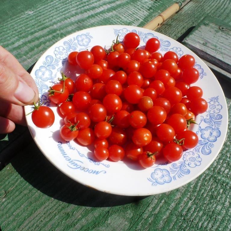 Томато-карлики: какие сорта димитровградцы могут вырастить на балконе, фото-7