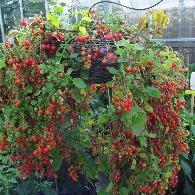Томато-карлики: какие сорта димитровградцы могут вырастить на балконе, фото-6